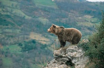 Asturias Brown Bear