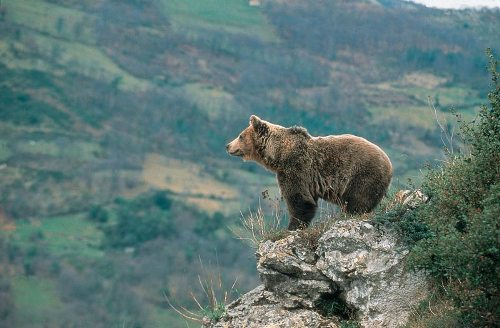 Asturias Brown Bear